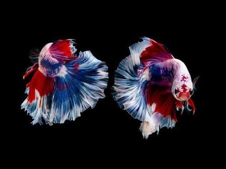 Keuntungan-Budidaya-Ikan-Cupang