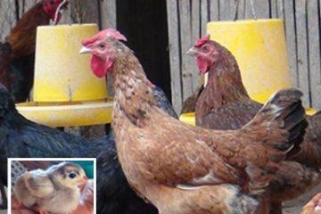 Cara Beternak Ayam KUB