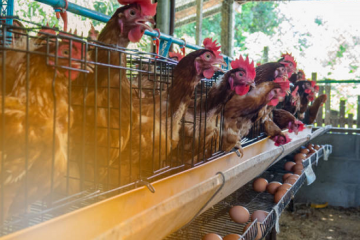 Cara Budidaya Ternak Ayam Petelur